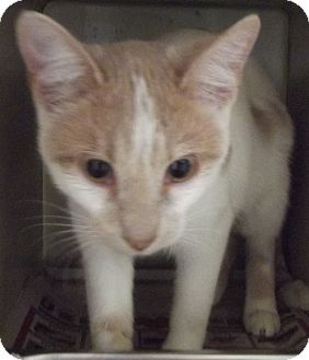 Domestic Shorthair Cat for adoption in Cheboygan, Michigan - CHARLIE