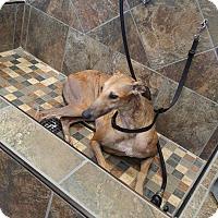 Adopt A Pet :: YoYo - Knoxville, TN