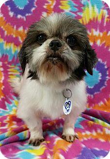 Shih Tzu Mix Dog for adoption in Urbana, Ohio - Delta Miller