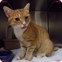 Domestic Shorthair Cat for adoption in Marietta, Georgia - ROXANNA
