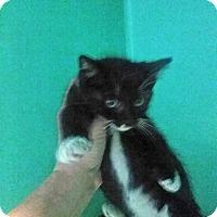 Adopt A Pet :: Tux Kitten - Elizabeth, NJ