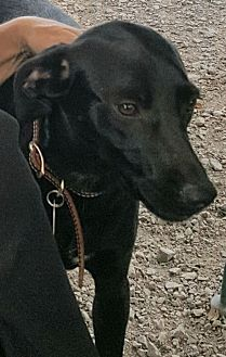 Greyhound/Labrador Retriever Mix Dog for adoption in Baileyton, Alabama - Rachel