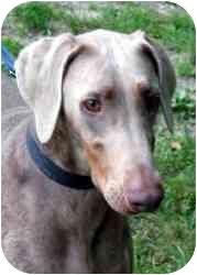 Doberman Pinscher Dog for adoption in Arlington, Virginia - Nyla