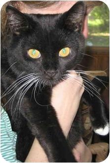 Havana Brown Cat for adoption in Alden, Iowa - Whiskers