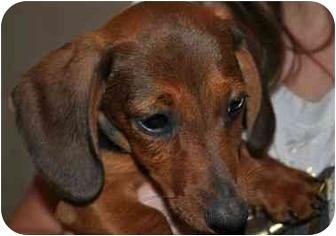 Dachshund Puppy for adoption in SLC, Utah - Lou