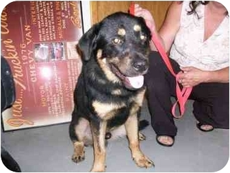 Rottweiler/Chow Chow Mix Dog for adoption in Lafayette, New Jersey - Frankie