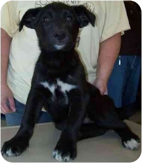 Australian Shepherd Mix Puppy for adoption in North Judson, Indiana - Digger