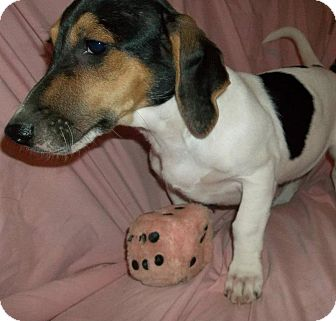 Beagle Mix Puppy for adoption in Naugatuck, Connecticut - Roxie