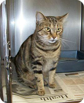 Domestic Shorthair Cat for adoption in Dover, Ohio - Tiny