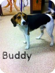 Beagle Dog for adoption in Manassas, Virginia - Buddy
