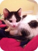 Domestic Shorthair Kitten for adoption in Schertz, Texas - Gloriana
