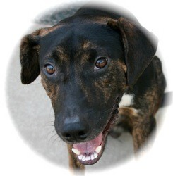 Plott Hound Mix Dog for adoption in Lufkin, Texas - Trapper