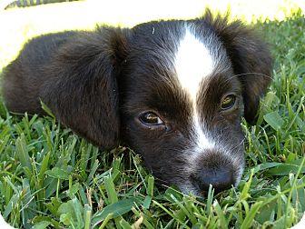 Boston Terrier/Westie, West Highland White Terrier Mix Puppy for adoption in Walker, Louisiana - Piper