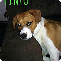 Adopt A Pet :: Pinto - Laingsburg, MI