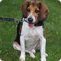 Adopt A Pet :: Pasha - Toronto/Etobicoke/GTA, ON