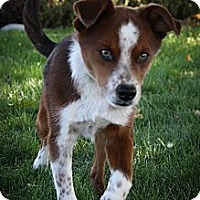 Adopt A Pet :: BolWEEVIL - Broomfield, CO