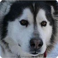 Adopt A Pet :: Ozzie-Love Bug - Belleville, MI