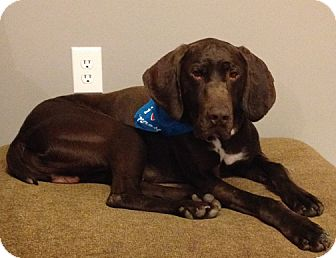 German Shorthaired Pointer Mix Dog for adoption in Owatonna, Minnesota - Cole