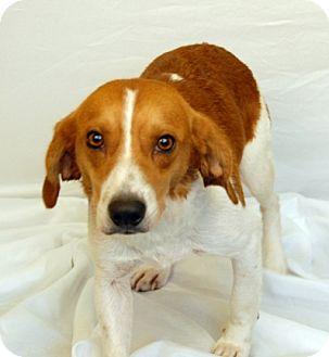 Beagle Dog for adoption in Newland, North Carolina - Rebel
