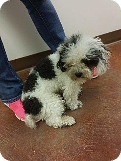Poodle (Miniature) Dog for adoption in Metairie, Louisiana - Gizmo