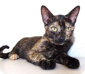Domestic Shorthair Kitten for adoption in La Jolla, California - Sweetie
