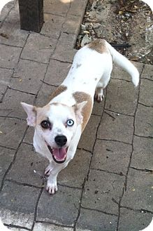 Terrier (Unknown Type, Small) Mix Dog for adoption in Wichita Falls, Texas - Trixie