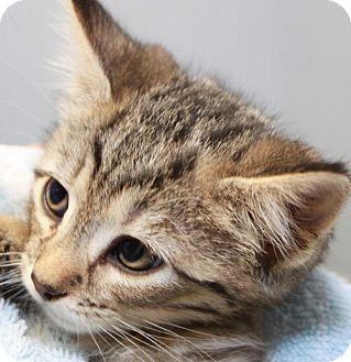 Domestic Shorthair Kitten for adoption in Staunton, Virginia - Kara