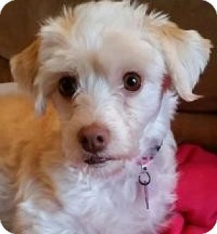 Miniature Poodle/Maltese Mix Dog for adoption in Seattle, Washington - Clarissa