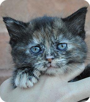 Domestic Mediumhair Kitten for adoption in Atlanta, Georgia - Crystal