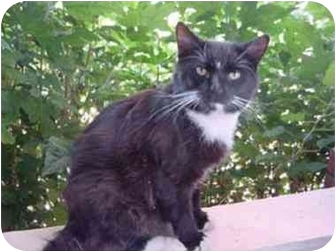Domestic Mediumhair Cat for adoption in Erwin, Tennessee - Blackie