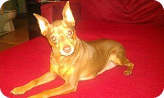 Miniature Pinscher Dog for adoption in Conway, Arkansas - Truffles