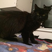 Domestic Longhair Cat for adoption in Montreal, Quebec - Tilley