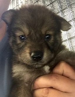 Keeshond Mix Puppy for adoption in Long Beach, California - Naia