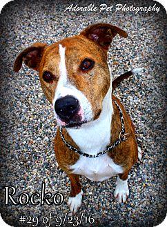 Greyhound Mix Dog for adoption in Gaylord, Michigan - Rocko