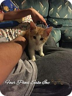 Domestic Shorthair Kitten for adoption in Maryville, Illinois - Frizzle