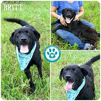 Flat-Coated Retriever Mix Dog for adoption in Kimberton, Pennsylvania - Britt