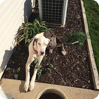 Great Dane Dog for adoption in Oswego, Illinois - Goofus