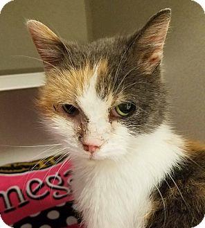 Calico Cat for adoption in Grayslake, Illinois - Natsuke.