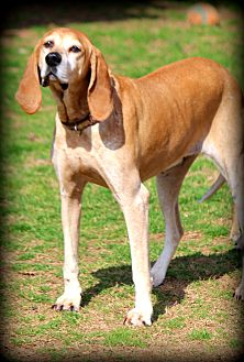 English (Redtick) Coonhound Dog for adoption in Greenville, South Carolina - Breeze