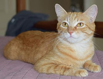 Domestic Shorthair Cat for adoption in Flower Mound, Texas - Clementine
