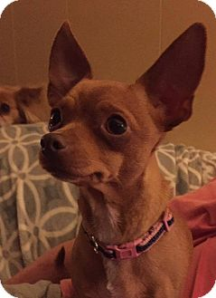 Chihuahua Mix Dog for adoption in College Station, Texas - Mama Pixie