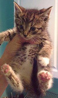 Domestic Shorthair Kitten for adoption in Freeport, New York - Brom