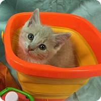 Domestic Shorthair Kitten for adoption in Rustburg, Virginia - Pistachio-Shelter