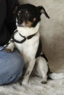Chihuahua/Terrier (Unknown Type, Small) Mix Dog for adoption in Garland, Texas - Sprocket