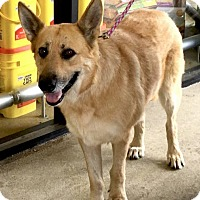 German Shepherd Dog Mix Dog for adoption in Sterling, Virginia - Olive 5463