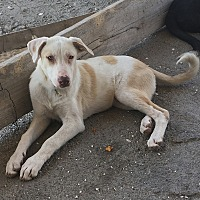 Adopt A Pet :: Snow - Encino, CA
