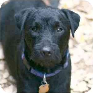 Scottie, Scottish Terrier/Labrador Retriever Mix Dog for adoption in Berkeley, California - Astro