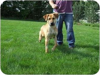 Rhodesian Ridgeback/Labrador Retriever Mix Dog for adoption in Batavia, Ohio - Macy