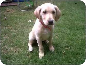 Labrador Retriever Mix Puppy for adoption in Cumming, Georgia - Nubbles