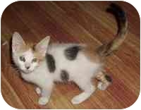 Calico Kitten for adoption in Tampa, Florida - Annie